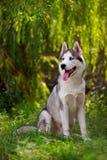 Cão de puxar trenós de Syberian imagem de stock royalty free