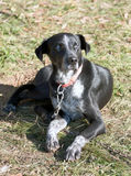 Cão de puxar trenós do Alasca Fotografia de Stock