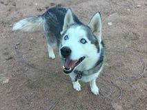 Cão de puxar trenós do Alasca bonito fotografia de stock royalty free