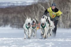 Cão de puxar trenós do Alasca da equipe running do cão de trenó Competência de cão Beringia do trenó de Kamchatka Fotos de Stock Royalty Free