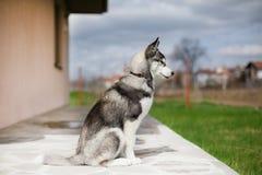 Cão de puxar trenós do cachorrinho que olha de lado Fotografia de Stock