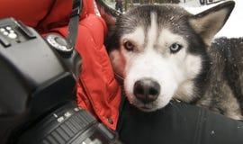 Cão de puxar trenós do fotógrafo fotografia de stock