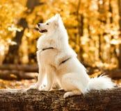 Cão de puxar trenós do samoyed da raça do cão fotos de stock