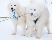 Cão de puxar trenós do Samoyed de duas raças do cão na floresta do inverno Imagem de Stock