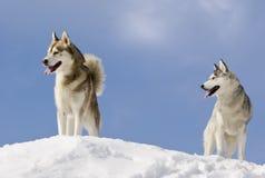 Cão de puxar trenós dois siberian imagem de stock
