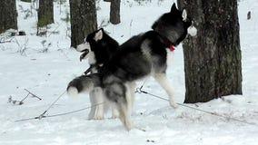 Cão de puxar trenós e malamute do trenó na neve vídeos de arquivo