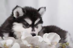 Cão de puxar trenós e orquídeas delicados do cachorrinho Fotos de Stock Royalty Free