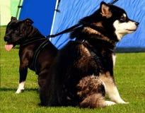 Cão de puxar trenós e Pitbull Fotos de Stock