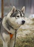 Cão de puxar trenós grave fotos de stock royalty free
