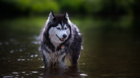 Cão de puxar trenós im Wasser Fotografia de Stock Royalty Free
