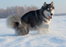 Cão de puxar trenós masculino Fotos de Stock Royalty Free