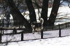 Cão de puxar trenós na floresta da mola Foto de Stock Royalty Free