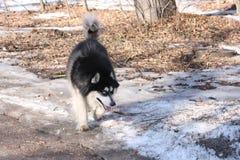 Cão de puxar trenós na floresta da mola Fotografia de Stock Royalty Free