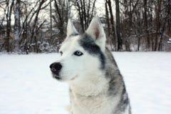Cão de puxar trenós na neve Foto de Stock