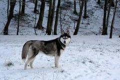 Cão de puxar trenós na neve Imagem de Stock Royalty Free
