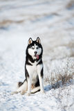 Cão de puxar trenós na neve Imagens de Stock