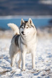 Cão de puxar trenós na neve Fotografia de Stock