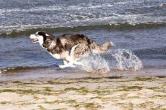 Cão de puxar trenós na praia Foto de Stock Royalty Free