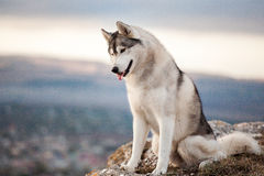 Cão de puxar trenós nas montanhas Fotos de Stock