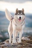 Cão de puxar trenós nas montanhas Fotografia de Stock Royalty Free