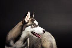 Cão de puxar trenós no fundo preto Imagem de Stock Royalty Free