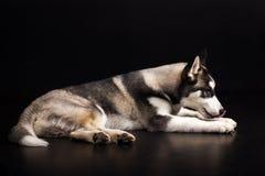Cão de puxar trenós no fundo preto Imagens de Stock Royalty Free