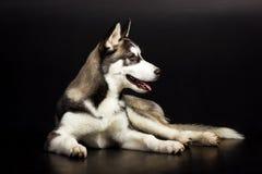 Cão de puxar trenós no fundo preto Foto de Stock Royalty Free