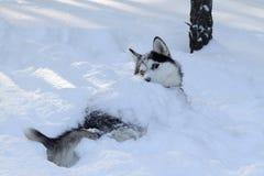 Cão de puxar trenós no inverno Foto de Stock Royalty Free