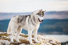 Cão de puxar trenós no mountains2 Imagens de Stock Royalty Free