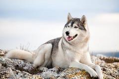Cão de puxar trenós no mountains8 Foto de Stock Royalty Free