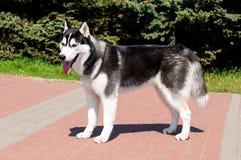 Cão de puxar trenós no perfil fotografia de stock royalty free