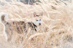 Cão de puxar trenós novo, em uma caminhada na natureza Capturado em uma grama seca longa Imagem de Stock Royalty Free