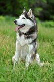 Cão de puxar trenós preto e branco Fotografia de Stock