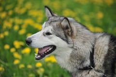 Cão de puxar trenós, retrato do close-up de um cão Fotografia de Stock
