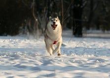 Cão de puxar trenós Siberian Foto de Stock Royalty Free