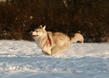 Cão de puxar trenós Siberian Fotos de Stock Royalty Free