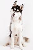 Cão de puxar trenós Siberian Fotografia de Stock Royalty Free