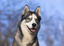 Cão de puxar trenós Siberian Foto de Stock