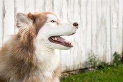 Cão de puxar trenós Siberian Imagem de Stock