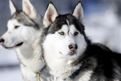 Cão de puxar trenós Siberian fotos de stock