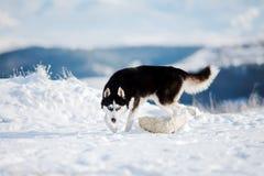 Cão de puxar trenós Siberian 1 Imagens de Stock