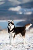 Cão de puxar trenós Siberian 4 Foto de Stock