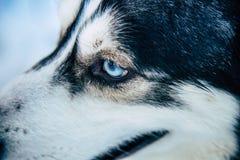 Cão de puxar trenós Siberian Fotografia de Stock