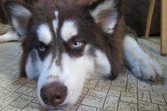 Cão de puxar trenós Siberian adorável, sonolento Imagens de Stock Royalty Free