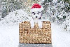 Cão de puxar trenós Siberian bonito com chapéu e cesta de Santa Fotografia de Stock Royalty Free