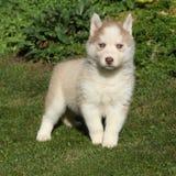 Cão de puxar trenós siberian bonito que está no jardim Foto de Stock Royalty Free