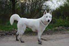 Cão de puxar trenós siberian branco com peúgas enlameadas Fotos de Stock