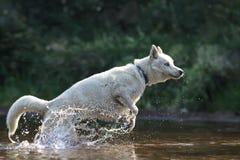 Cão de puxar trenós siberian branco no rio Foto de Stock Royalty Free