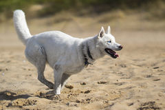 Cão de puxar trenós siberian branco pelo mar Imagem de Stock Royalty Free