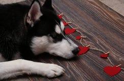 Cão de puxar trenós siberian branco preto que encontra-se no assoalho Foto de Stock